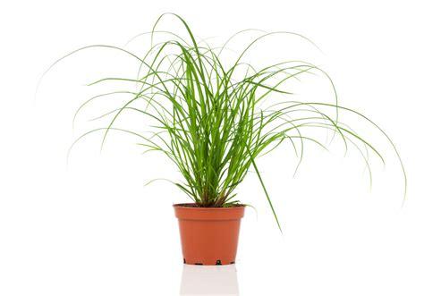 Zimmerpflanze Einblatt Haltung Pflege by Zyperngras Als Zimmerpflanze 187 So Gedeiht Es Pr 228 Chtig