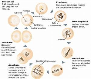 What Are The Stages Of Mitosis