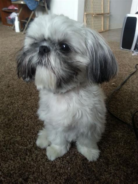 Best Shih Tzu Dog Names