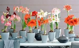Amaryllis Zum Blühen Bringen : facebook umfrage beliebte zimmerpflanzen in der ~ Lizthompson.info Haus und Dekorationen