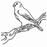 Canary Bird Coloring Birds Happy Tocolor Flying Place sketch template