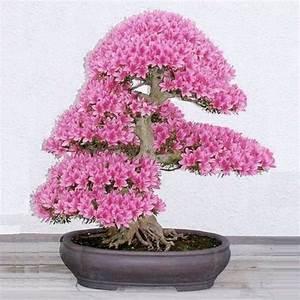 Sakura Baum Kaufen : favorable 10pcs rare sakura seeds cherry blossoms seeds garden flower bonsai tree newchic ~ Frokenaadalensverden.com Haus und Dekorationen