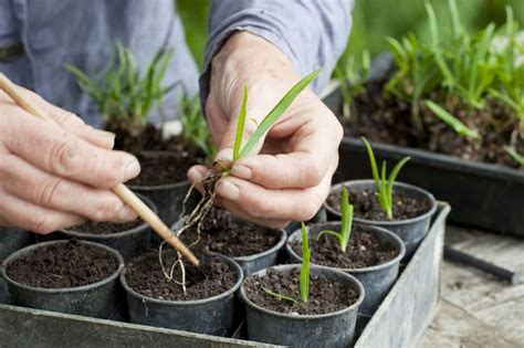 growing pot plants from seeds growing agapanthus from seed gardenersworld