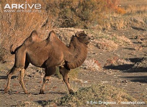 wild bactrian camel  parody wiki fandom powered