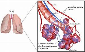 General Model Concept  The Vascular Graph Model Describes
