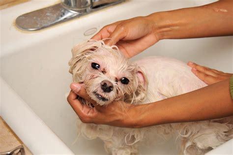 Filewashing A Dog In A Bath Tub Jpg