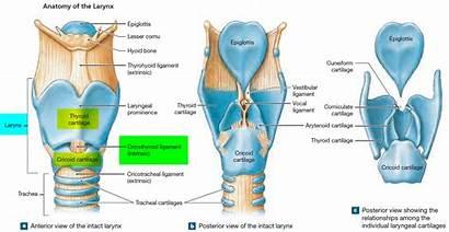 Larynx Anatomy Epiglottis System Respiratory Human Function