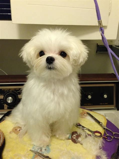 does maltipoo shed hair 17 best images about maltese haircuts on