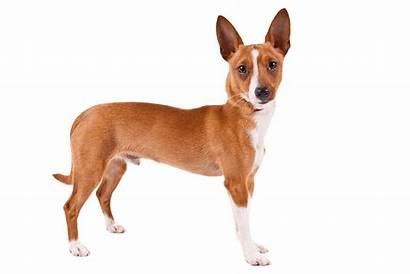 Podengo Portuguese Pequeno Breeds Akc Dog Dogs