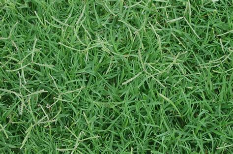 common grass types which types of grass should i plant in austin