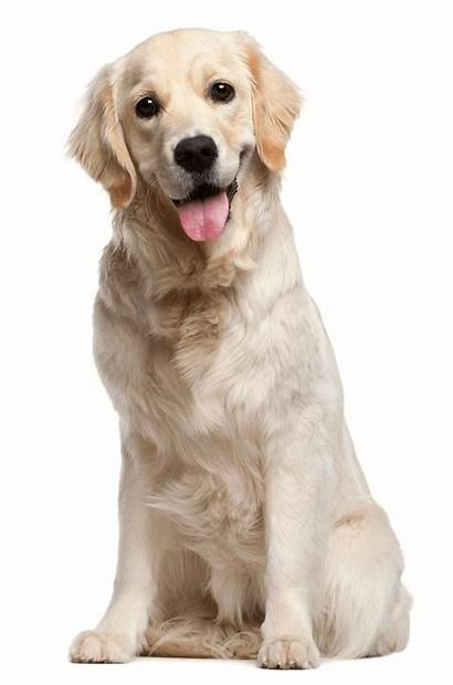 Dog Dogs Golden Pet Retriever Cat Puppy