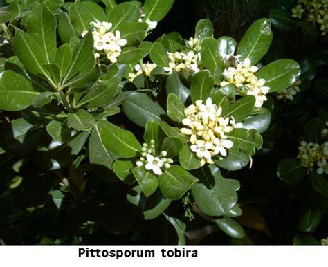 fragrant flowering bushes flowering evergreen shrubs full sun www pixshark com images galleries with a bite
