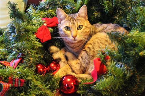 katze und weihnachtsbaum ist ein weihnachtsbaum