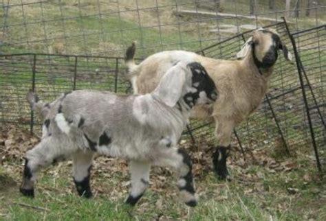 dreamer s farm boer goats goats and vanner horses in missouri