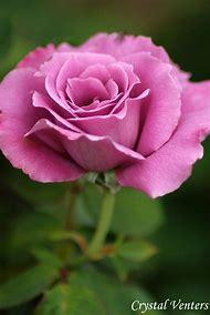 Beautiful Purple Rose Bud