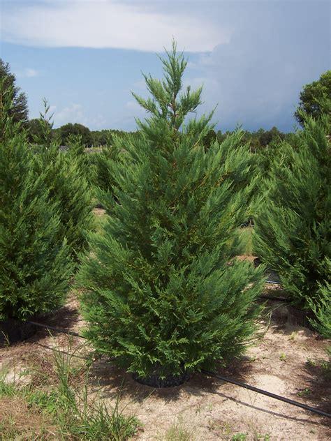 leyland cypress cupressocyparis leylandii leyland cypress scenic hills nursery