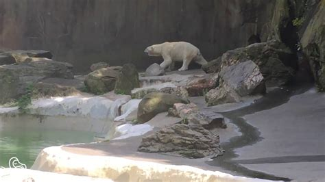 zoo bronx polar bear pacing