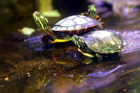 aquatic turtle basking light aquatic turtles what is a basking area petfoodia com