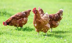 Information On Avian Influenza