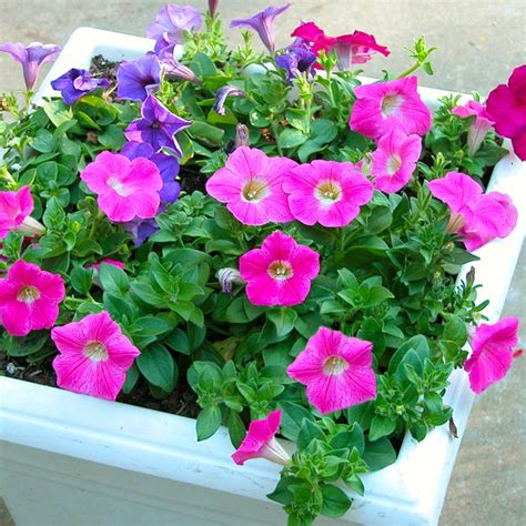 annual flower container ideas south central gardening container annuals