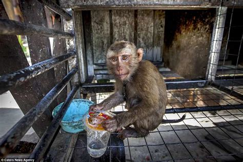 monkey animals even locked cages feet cut zoos into its dirty chains ankles elephants they shackled enough turn try long