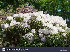 Baum Mit Weißen Blüten : rhododendron baum mit wei en bl ten in einem wald ~ Michelbontemps.com Haus und Dekorationen