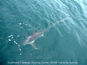 Thresher Shark Facts