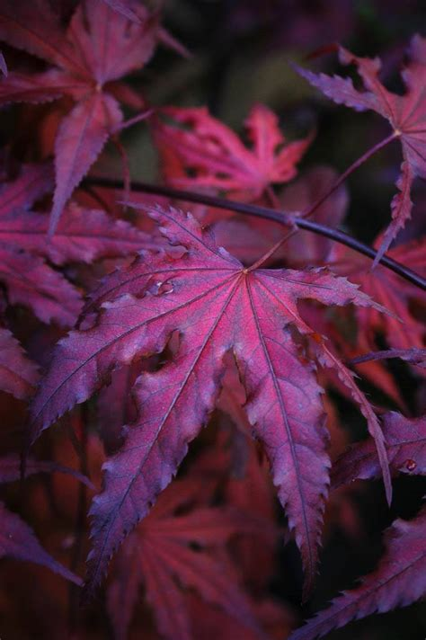 japanese maple purple ghost purple ghost japanese maple for sale online the tree center