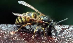 Was Wespen Nicht Mögen : wespen lassen basler nicht im stich so wehren sie sich gegen die plage basel stadt basel ~ Markanthonyermac.com Haus und Dekorationen