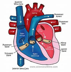 simple heart diagram for kids to label | Nursing school ...