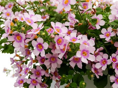 purple bacopa pink and purple bacopa flowers photograph by cynthia woods