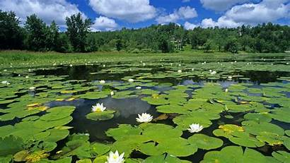 Pond Water Lilies Lily Ponds Pads Wallpapers