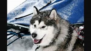 Alaskan Malamute Austrian Wolf - YouTube