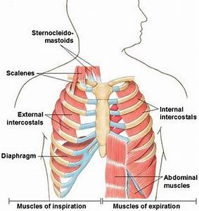 Body Muscle Diagram  Muscle Charts Of The Human Body