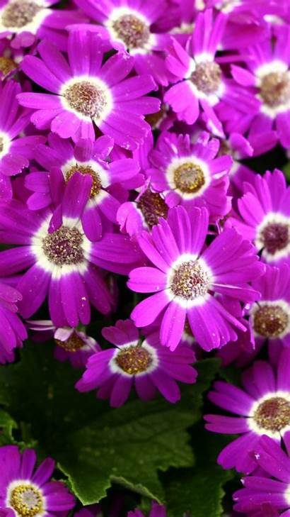 Iphone Flower Spring Flowers Wallpapers Nature Purple