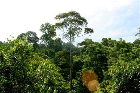 rainforest canopy  sabah malaysia