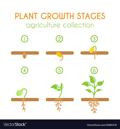 Plant Growth Stages Wwwimagenesmycom