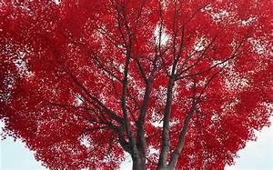 Rote Blätter Baum : baum rote bl tter herbst hd hintergrundbilder natur ~ Michelbontemps.com Haus und Dekorationen