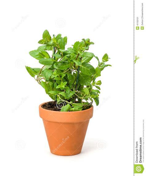 menthe dans un pot d argile photo stock image 41150151