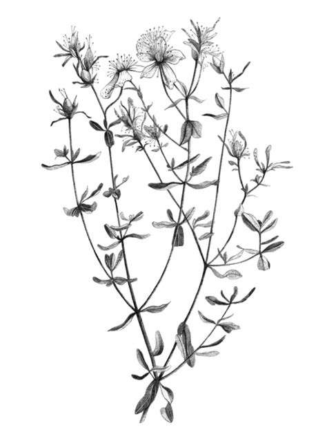 - Botanical illustration — Talya Baldwin Illustration