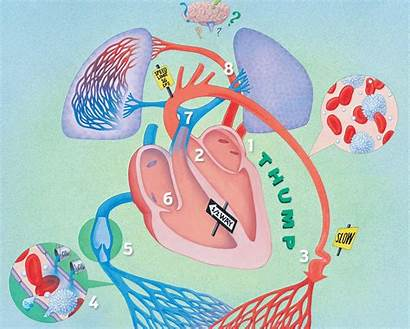 Heart Circulatory System Works Science Kidsdiscover Parts