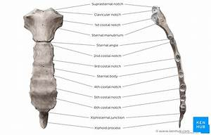 Sternum  Anatomy  Parts  Pain And Diagram