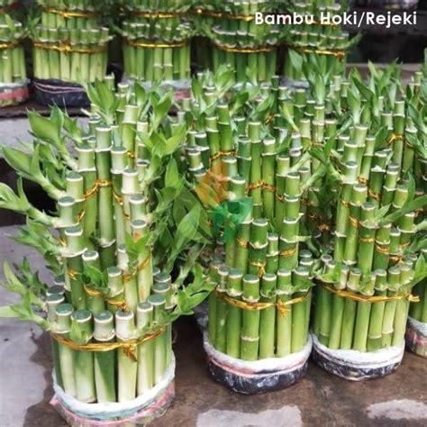 jual tanaman hias bambu cinahokirejeki ayo beli