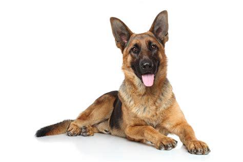 berger allemand caract 232 re histoire sant 233 guide du chien