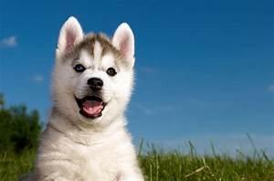 Grass husky puppy husky wallpaper   4288x2848   291237 ...