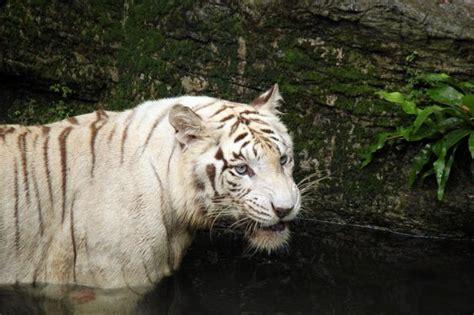 white tiger   water  stock photo public domain