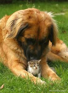 The Leonberger a gentle giant | Animals | Pinterest | The ...