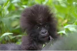 18 Cute Baby Gorillas ...Cute Mountain Gorilla