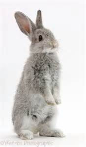 white background photography baby silver bunny standing up photo wp38908