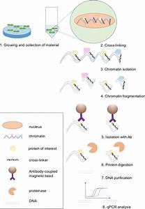 Scheme Of The Chromatin Immunoprecipitation Protocol  Chip